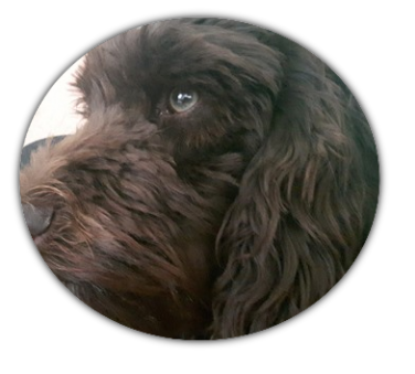 Hundezucht Schweiz Der Echte Australian Labradoodle